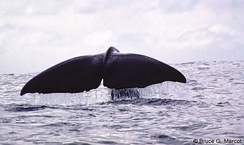 image of sperm_whale_sounding